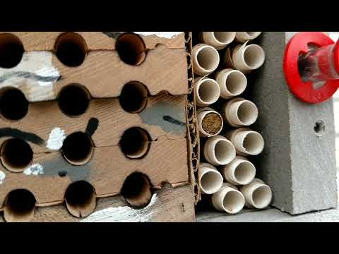 Mason Bees Leafcutter Bees Crown Bees From Placing Cacoons In Spring To Fall Harvesting