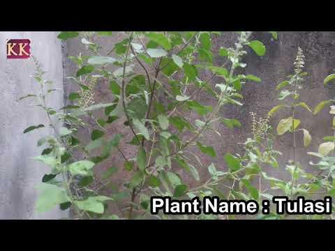 Botany : Tulasi Plant or Holy basil - a HolyPlant