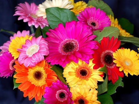 HOW TO GROW GERBERA DAISIES IN CONTAINER - BY HAPPY TWIRL
