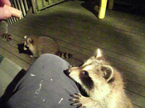 Baby Raccoons Part One