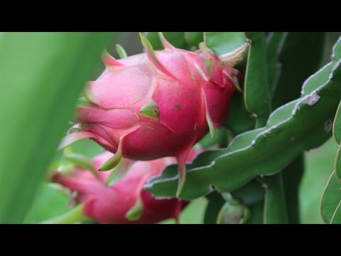 How to grow a Dragon Fruit Cactus from seed - Hylocereus undatus