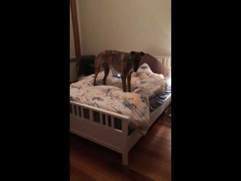 Greyhound can't jump off bed