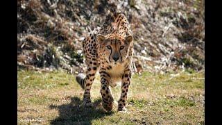 Home Safari - Cheetahs Running - Cincinnati Zoo