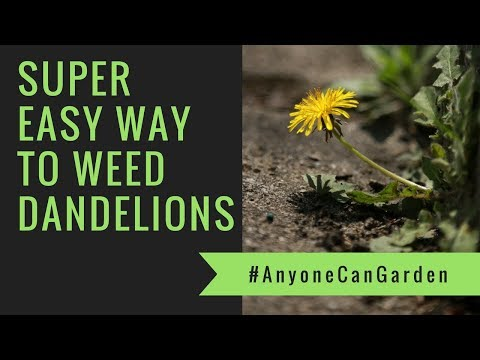 How to weed Dandelions the super easy way!
