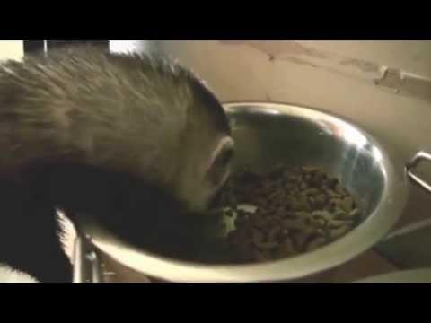 Ferret Neutering