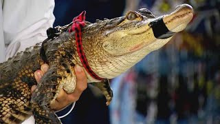 How Easy Is It to Buy an Alligator?