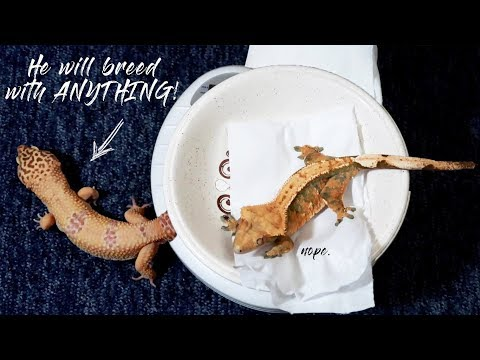 SPRING'S AFFECTING MY GECKOS   March Weights 2018