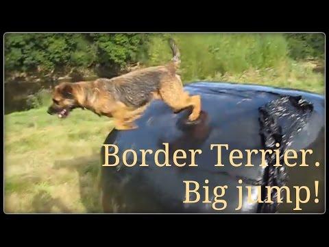 Border terrier does big jump.
