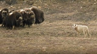 Wolves Vs Herd of Muskox | Snow Wolf Family And Me | BBC