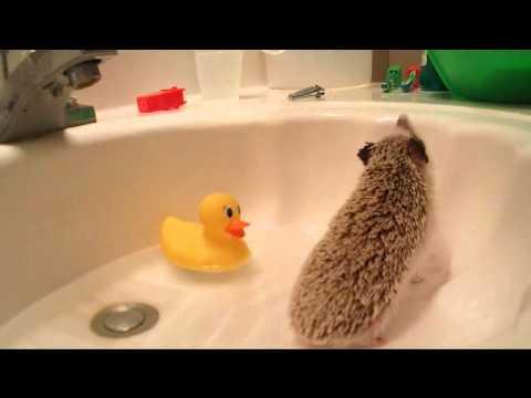 Hedgehog care: How to bathe your hedgehog