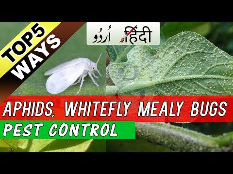 5 Easy Ways to Control Mealy Bugs Aphids Whiteflies at Home - Organic Pest Control Spray Hindi