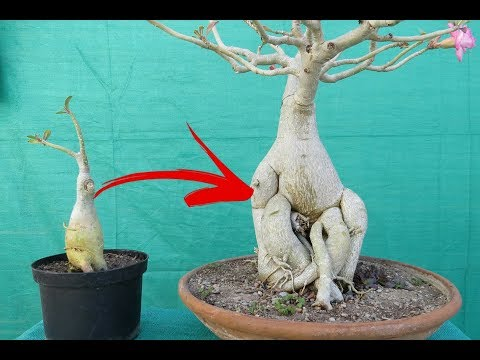 Grow Adeniums Big Caudex in One Month / With Guarantee/ without fertilizers