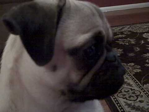 Pug Puppy Barking at TV