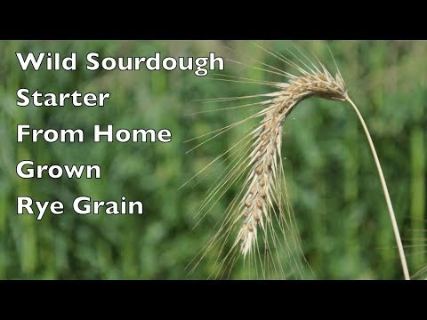How To Make a Wild Yeast Sourdough Starter From Home Grown Rye Grain