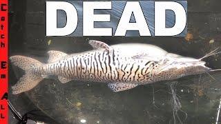 RARE TIGER CATFISH CAUGHT DEAD!