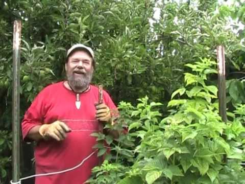 Raspberry Pruning Basics