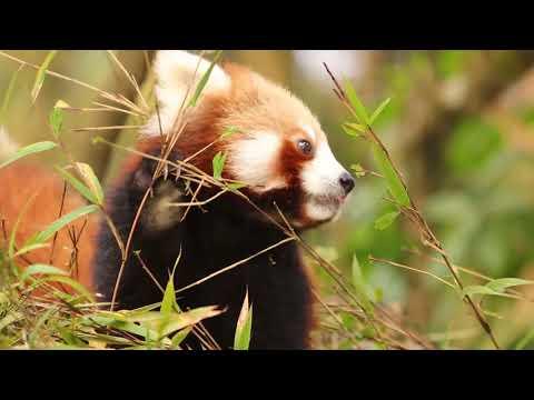 Red Panda Bamboo Eating ...too lazy panda