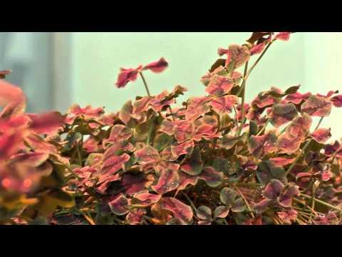 The Secret Of The Four-Leaf Clover
