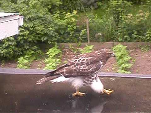 red-tailed hawk washes butt