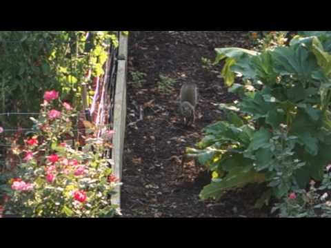 Squirrel wars - electric fence protects tomatoes
