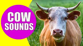 COW SOUNDS | Learn Animals with Kiddopedia #Shorts