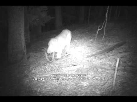 Colorado Mountain Lion; Game Camera