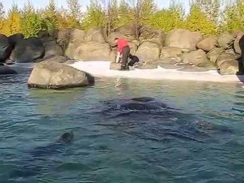 Feeding seals in  the Reykjavík zoo (Húsdýragarðurinn)