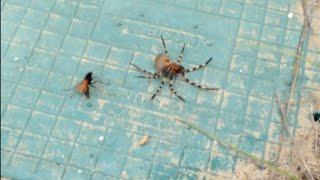 Spider Vs Wasp - Epic Bug Battle Refereed By Ellen
