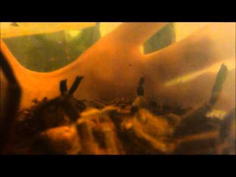 Super Pissed Off Tarantula!