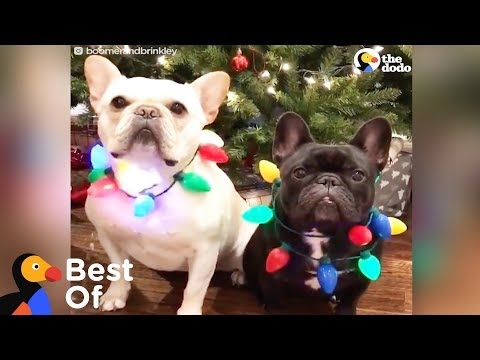 Xxx Mp4 Dogs And Other Animals With Holiday Spirit Holiday Animal Compilation The Dodo Best Of 3gp Sex