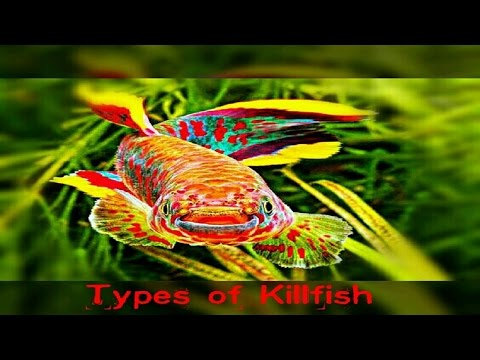 6 Types Of Killifish You Never Seen Before.