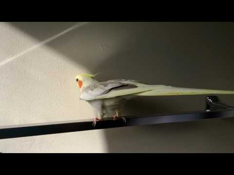 Horny female cockatiel
