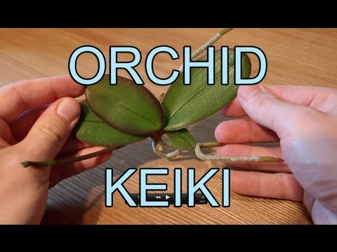 Repotting an Orchid Keiki - Phalaenopsis Orchid Keiki