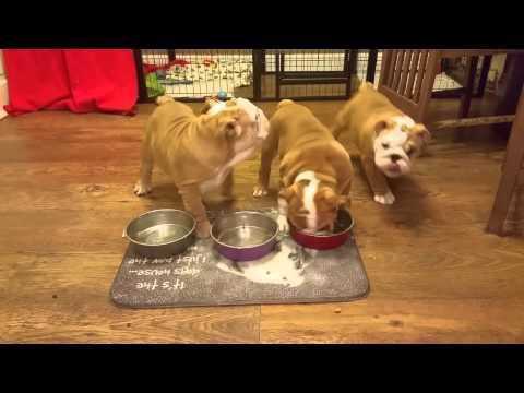 Feeding time. Bulldog puppies.