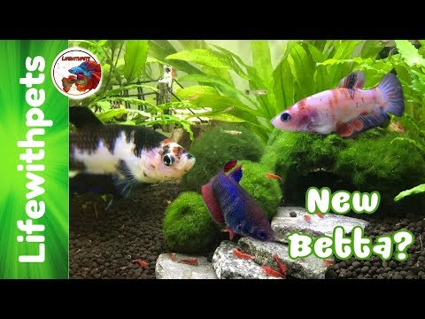 All our Betta fish and a New Betta Fish?