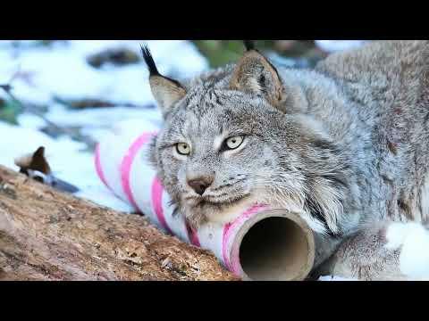 Animal Spotlight:  Canada Lynx