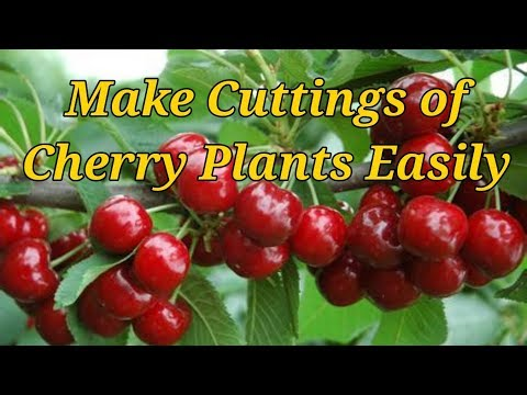 How to Make Cuttings of Cherry trees  with great Success.