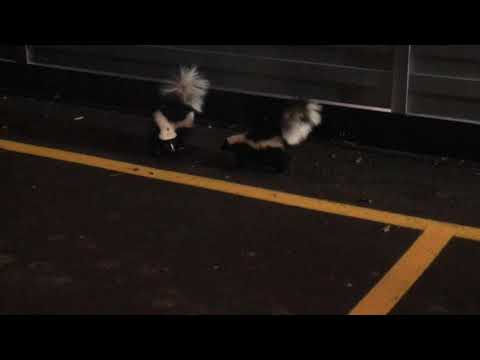2 skunks fighting or courting ? looking for love ? dancing ? What do you think ?