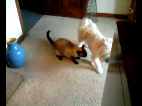 Vicious Siamese cat attacks Lhasa apso dog, Cat gets owned!!