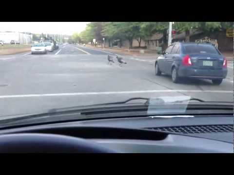 Turkeys in the middle of the road