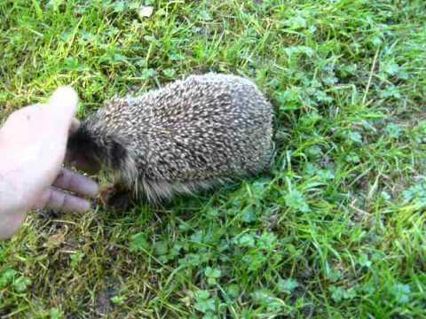 Wild British hedgehog responds to whistle.