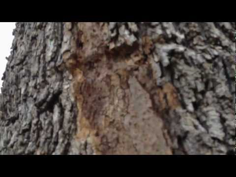 Oak Tree with serious problem