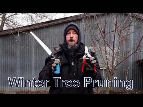 Pruning A Plum Tree In The Snow