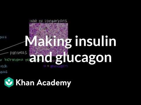 Production of insulin and glucagon