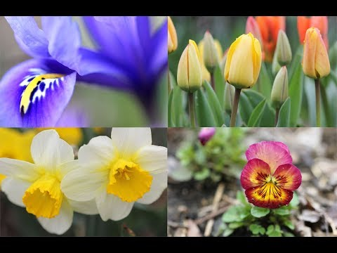 April-One Month Of Flowers-Tulips, Daffodils, Pansies, Violas, and More-Gardening