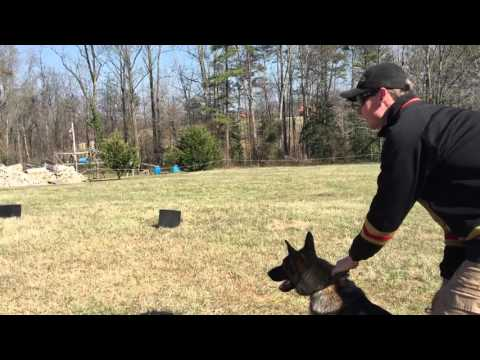 Explosives Detection Dog Working with Dog Distractions