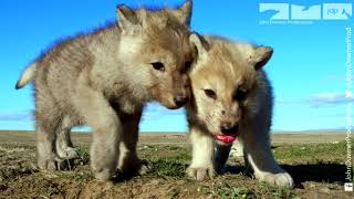 Robotic Wolf hangs out with Wolf Cubs at Den