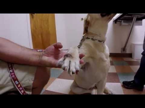 Dog With Leg Injury Infection or Tumor Goes to the Veterinarian
