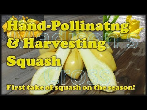 Hand-Pollinating & Harvesting Squash