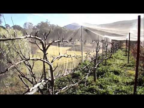 Pruning Espaliered Apple Trees - Part One